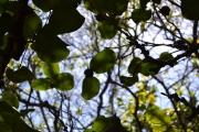 <strong>Ebenaceae - Diospyros - Diospyros egrettarum I.Richardson</strong><br />© 2015-2016 - 2nde5_LLB - Laura Merven