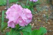 <strong>Hydrangeaceae - Hydrangea - Hydrangea macrophylla (Thunb.) Ser.</strong><br />© 2015-2016 - 2nde5_LLB - Lisa Labat