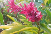 <strong>Zingiberaceae - Alpinia - Alpinia purpurata (Vieill.) K.Schum.</strong><br />© 2015-2016 - 2nde5_LLB - Lisa Labat