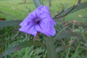 <strong>Acanthaceae - Ruellia - Ruellia simplex C.Wright</strong><br />© 2015-2016 - 2nde5_LLB - Lisa Labat