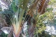 <strong>Strelitziaceae - Ravenala - Ravenala madagascariensis Sonn.</strong><br />© 2015-2016 - 2nde5_LLB - Lisa Labat
