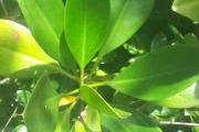 <strong>Rhizophoraceae - Rhizophora - Rhizophora mucronata Lam.</strong><br />© 2015-2016 - 2nde6_LLB - Yann Bouchereau