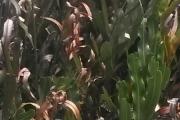 <strong>Pteridaceae - Acrostichum - Acrostichum aureum L.</strong><br />© 2015-2016 - 2nde6_LLB - Yann Bouchereau