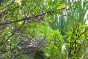 <strong>Sapindaceae - Dodonaea - Dodonaea viscosa (L.) Jacq.</strong><br />© 2015-2016 - 2nde6_LLB - Yann Bouchereau