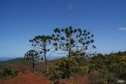 <strong>Araucariaceae - Araucaria rulei F.Muell. - 05-févr-08</strong><br />© IAC