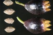 <strong>Goodeniaceae - Scaevola coccinea Daniker - 16-févr-11</strong><br />© IAC
