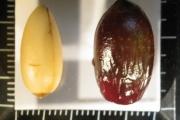 <strong>Lauraceae - Litsea ripidion Guillaumin - 02-déc-07</strong><br />© IAC