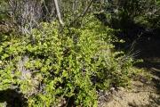 <strong>Rubiaceae - Cyclophyllum tenuipes Guillaumin - 27-mars-13</strong><br />© IAC