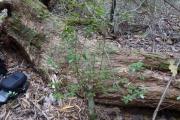 <strong>Rubiaceae - Tinadendron noumeanum (Baill.) Achille - 07-févr-11</strong><br />© IAC