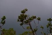 <strong>Podocarpaceae - Dacrydium guillauminii J.Buchholz - 05-mai-11</strong><br />© IAC