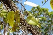 <strong>Menispermaceae - Hypserpa mackeei Forman - 20-mai-10</strong><br />© IAC