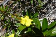 <strong>Dilleniaceae - Hibbertia tontoutensis Guillaumin - 30-oct-14</strong><br />© IAC