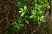 <strong>Myrtaceae - Eugenia daenikeri Guillaumin - 07-févr-11</strong><br />© IAC