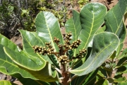 <strong>Anacardiaceae - Semecarpus riparia Virot - 29-oct-14</strong><br />© IAC