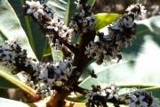 <strong>Anacardiaceae - Semecarpus riparia Virot - 05-avr-11</strong><br />© IAC