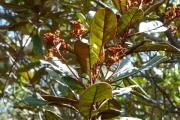 <strong>Argophyllaceae - Argophyllum brevipetalum Guillaumin - 29-oct-14</strong><br />© IAC