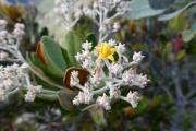 <strong>Argophyllaceae - Argophyllum grunovii Zahlbr. - 12-juin-13</strong><br />© IAC