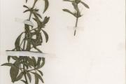 <strong>Acanthaceae - Barleria - Barleria eranthemoides R.Br. ex C.B.Clarke</strong><br />© hnb