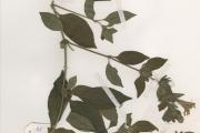 <strong>Acanthaceae - Barleria - Barleria opaca Nees</strong><br />© hnb