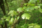 <strong>Acer campestre - France - Athis-Mons</strong><br />© Jean-Luc Gorremans