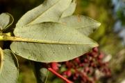 <strong>Ericaceae - Agauria buxifolia - (Lam.) Cordem.</strong><br />© Sarrailh Jean-Michel / CIRAD
