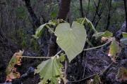 <strong>Malvaceae - Abutilon exstipulare - (Cav.) G.Don</strong><br />© Sarrailh Jean-Michel / CIRAD