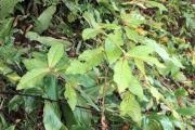 <strong>Euphorbiaceae - Acalypha integrifolia - Willd.</strong><br />© Sarrailh Jean-Michel / CIRAD