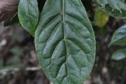 <strong>Rubiaceae - Antirhea borbonica - J.F.Gmel.</strong><br />© Sarrailh Jean-Michel / CIRAD