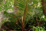 <strong>Arecaceae - Acanthophoenix rubra - (Bory) H.Wendl.</strong><br />© Sarrailh Jean-Michel / CIRAD