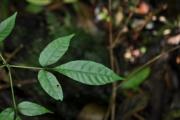 <strong>Sapindaceae - Allophylus borbonicus - (J.F.Gmel.) F.Friedmann</strong><br />© Sarrailh Jean-Michel / CIRAD