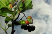 <strong>Icacinaceae - Apodytes dimidiata - E.Mey. ex Arn.</strong><br />© Sarrailh Jean-Michel / CIRAD