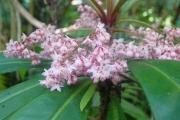 <strong>Myrsinaceae - Badula borbonica - A.DC.</strong><br />© Sarrailh Jean-Michel / CIRAD