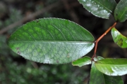 <strong>Aphloiaceae - Aphloia theiformis - (Vahl) Benn.</strong><br />© Sarrailh Jean-Michel / CIRAD