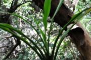 <strong>Laxmanniaceae - Cordyline mauritiana - (Lam.) J.F.Macbr.</strong><br />© Sarrailh Jean-Michel / CIRAD