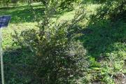 <strong>Apocynaceae - Carissa spinarum - L.</strong><br />© Sarrailh Jean-Michel / CIRAD
