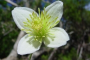 <strong>Ranunculaceae - Clematis mauritiana - Lam.</strong><br />© Sarrailh Jean-Michel / CIRAD