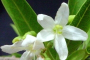 <strong>Lamiaceae - Clerodendrum heterophyllum - (Poir.) R.Br.</strong><br />© Sarrailh Jean-Michel / CIRAD