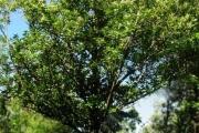 <strong>Clusiaceae - Calophyllum tacamahaca - Willd.</strong><br />© Sarrailh Jean-Michel / CIRAD