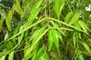 <strong>Apocynaceae - Camptocarpus mauritianus - (Lam.) Decne.</strong><br />© Sarrailh Jean-Michel / CIRAD