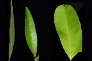 <strong>Celastraceae - Cassine orientalis - (Jacq.) Kuntze</strong><br />© Sarrailh Jean-Michel / CIRAD