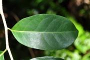<strong>Salicaceae - Casearia coriacea - Vent.</strong><br />© Sarrailh Jean-Michel / CIRAD