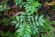 <strong>Connaraceae - Cnestis glabra - Lam.</strong><br />© Sarrailh Jean-Michel / CIRAD