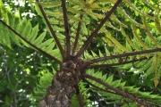 <strong>Cyatheaceae - Cyathea borbonica - Desv.</strong><br />© Sarrailh Jean-Michel / CIRAD