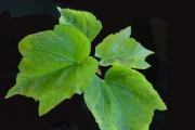 <strong>Malvaceae - Dombeya acutangula - Cav.</strong><br />© Sarrailh Jean-Michel / CIRAD