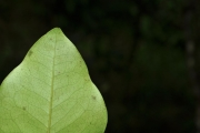 <strong>Ebenaceae - Diospyros borbonica - I.Richardson</strong><br />© Sarrailh Jean-Michel / CIRAD