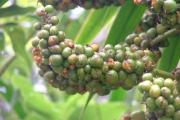 <strong>Ruscaceae - Dracaena reflexa - Lam.</strong><br />© Baret Stéphane