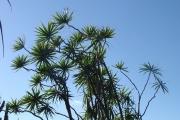 <strong>Ruscaceae - Dracaena reflexa - Lam.</strong><br />© Sarrailh Jean-Michel / CIRAD