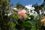 <strong>Myrtaceae - Eugenia buxifolia - Lam.</strong><br />© Sarrailh Jean-Michel / CIRAD