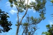 <strong>Erythroxylaceae - Erythroxylum hypericifolium - Lam.</strong><br />© Madaule Tiana
