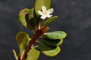 <strong>Erythroxylaceae - Erythroxylum hypericifolium - Lam.</strong><br />© Sarrailh Jean-Michel / CIRAD